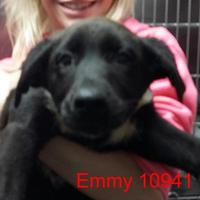 Adopt A Pet :: Emmy - Manassas, VA