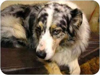 Australian Shepherd Dog for adoption in Orlando, Florida - Sassy
