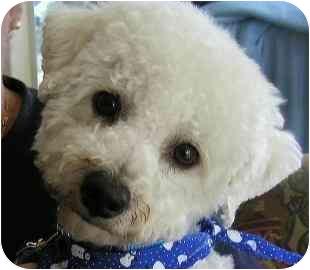 Bichon Frise Mix Dog for adoption in La Costa, California - Max