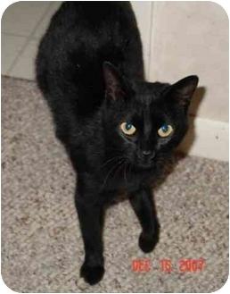Domestic Shorthair Cat for adoption in Columbus, Nebraska - Chrissy