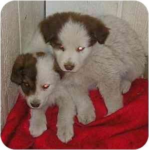Spaniel (Unknown Type)/Border Collie Mix Puppy for adoption in Glenwood, Minnesota - Sasha & Sam