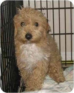 Coton de Tulear/Poodle (Miniature) Mix Dog for adoption in Fenton, Missouri - BILLY