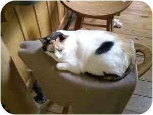 Calico Cat for adoption in Somerset, Kentucky - Tally