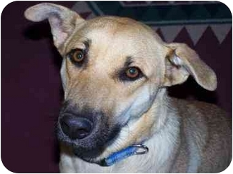 Australian Shepherd/German Shepherd Dog Mix Dog for adoption in Joshua Tree, California - Katie