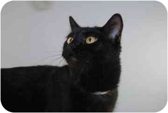 Domestic Shorthair Cat for adoption in North Charleston, South Carolina - Lacy