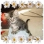 Photo 1 - Maine Coon Kitten for adoption in KANSAS, Missouri - Sparkle