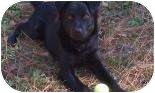Flat-Coated Retriever Mix Dog for adoption in Summerville, South Carolina - Max (in foster)