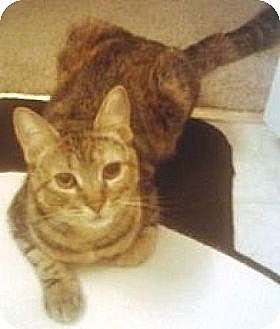 Domestic Shorthair Cat for adoption in Miami, Florida - Victoria