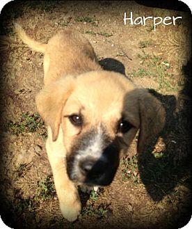 German Shepherd Dog Mix Puppy for adoption in Brattleboro, Vermont - Harper