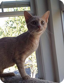 Domestic Shorthair Cat for adoption in Hainesville, Illinois - Angelica
