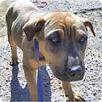 Adopt A Pet :: Raphael - Scottsdale, AZ