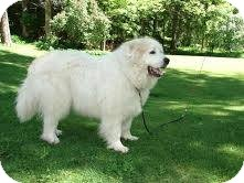 Great Pyrenees Dog for adoption in Lee, Massachusetts - Buster