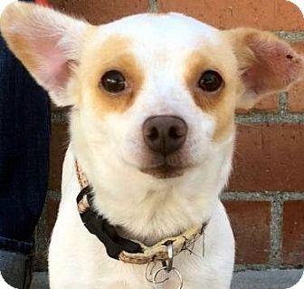 Jack Russell Terrier/Chihuahua Mix Dog for adoption in Los Angeles, California - JULIET (video)
