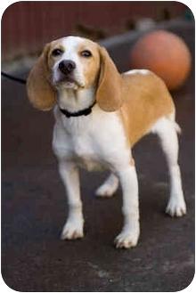 Beagle Puppy for adoption in Portland, Oregon - Rowdy