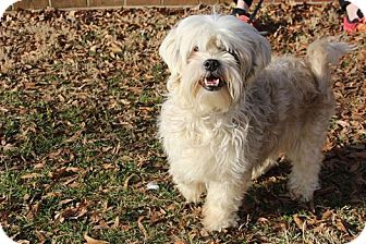 Shih Tzu/Poodle (Miniature) Mix Dog for adoption in Bedminster, New Jersey - Charlie