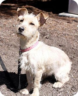 Border Terrier/Miniature Schnauzer Mix Dog for adoption in Westwood, New Jersey - Paige