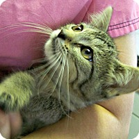 Adopt A Pet :: Pippin - Toledo, OH