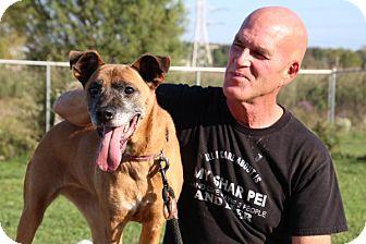 Shepherd (Unknown Type)/Boxer Mix Dog for adoption in Elyria, Ohio - Suede-Prison Dog