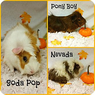 Guinea Pig for adoption in Joliet, Illinois - Pony Boy