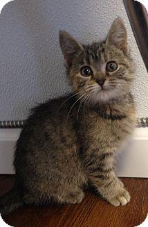 Domestic Shorthair Kitten for adoption in Greensburg, Pennsylvania - Katisha