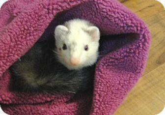 Ferret for adoption in Hartford, Connecticut - Perugina