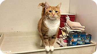 Domestic Shorthair Cat for adoption in Indianola, Iowa - Myer