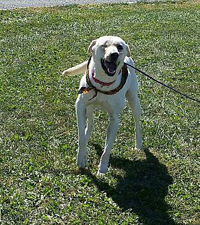 Labrador Retriever Mix Dog for adoption in Cameron, Missouri - DAPHNE