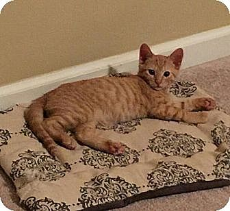 Domestic Shorthair Kitten for adoption in Nashville, Tennessee - Sriracha