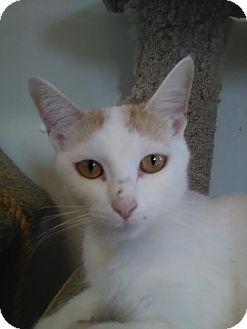 Domestic Shorthair Cat for adoption in Owenboro, Kentucky - BLONDIE