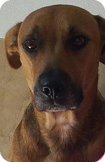 Black Mouth Cur Dog for adoption in Loxahatchee, Florida - Sandy