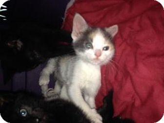Domestic Shorthair Kitten for adoption in Breinigsville, Pennsylvania - Paisley