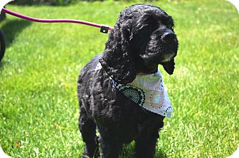 Cocker Spaniel Dog for adoption in South Haven, Michigan - Misty