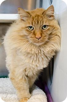 Domestic Longhair Cat for adoption in Peace Dale, Rhode Island - Tiger