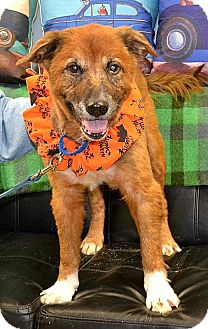 Chow Chow/Golden Retriever Mix Dog for adoption in Indiana, Pennsylvania - KODY