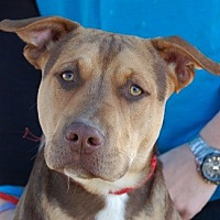 Adopt A Pet :: Shawn - Las Vegas, NV
