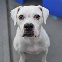 American Bulldog Mix Dog for adoption in Manhattan, New York - Gucci