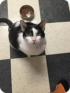 Domestic Shorthair Cat for adoption in North Haven, Connecticut - Cher