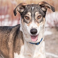 Adopt A Pet :: Lacey - Winnipeg, MB