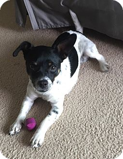 Pug/Chihuahua Mix Dog for adoption in Inglewood, California - Diego