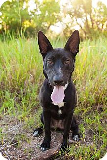 German Shepherd Dog/Blue Heeler Mix Dog for adoption in Enid, Oklahoma - Naji