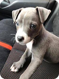 Terrier (Unknown Type, Medium) Mix Puppy for adoption in Marlton, New Jersey - Nora