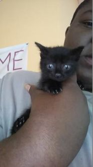 Domestic Shorthair/Domestic Shorthair Mix Cat for adoption in St. Thomas, Virgin Islands - Amaretto
