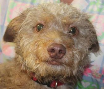 Poodle (Miniature) Mix Dog for adoption in Robinson, Illinois - Cecil