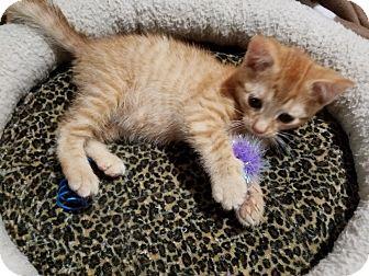 Domestic Shorthair Kitten for adoption in Neffs, Pennsylvania - Addie