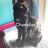 Adopt A Pet :: Chandler - York, PA