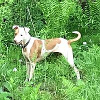 Adopt A Pet :: Maci - Hazel Park, MI