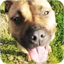 American Pit Bull Terrier Mix Dog for adoption in Berkeley, California - Betty Jane