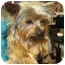 Photo 3 - Yorkie, Yorkshire Terrier Dog for adoption in Conroe, Texas - Logan