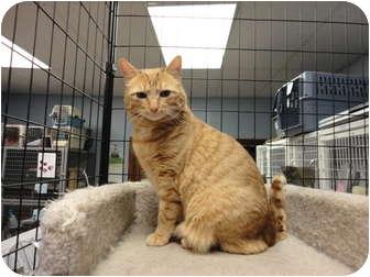Domestic Shorthair Cat for adoption in Kingston, Washington - Cerenia