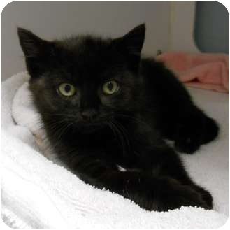Domestic Shorthair Kitten for adoption in Maywood, New Jersey - Annie